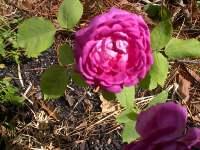 April_2007_roses_005