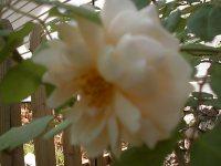 April_2007_roses_016